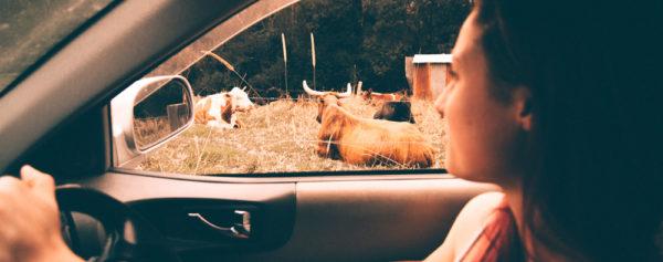 Paseo en coche y vacas en Cudillero